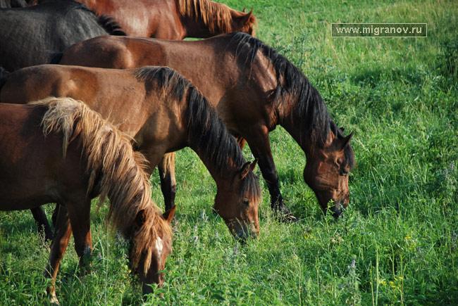башкирские кони.