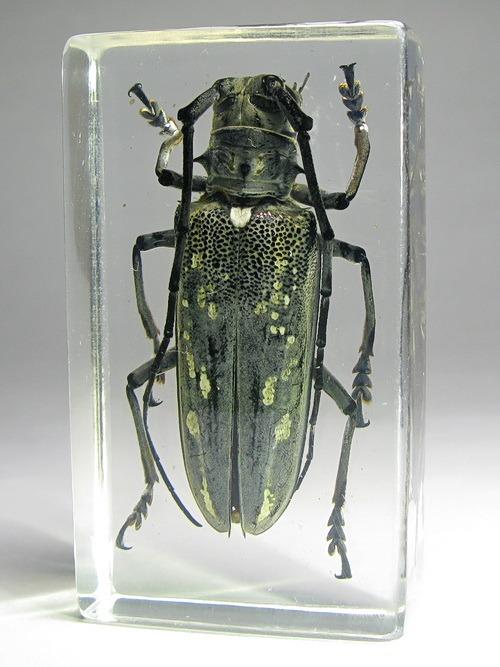 Насекомые №40 - Усач - батоцера (Batoceras sp.)
