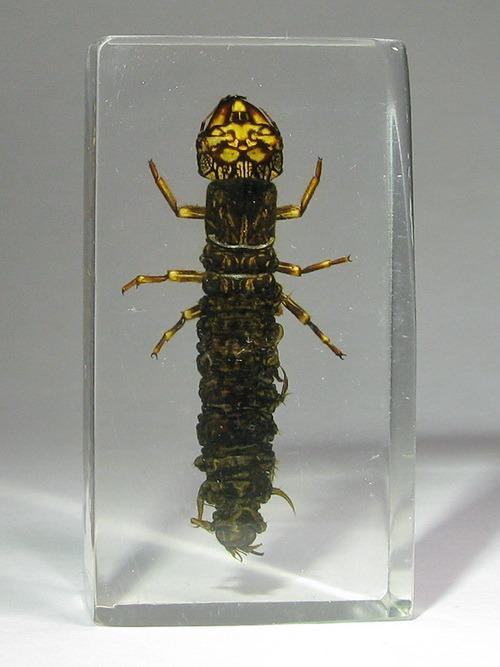 Насекомые №42 - Вислокрылка Рогатая (Corydalus cornutus)