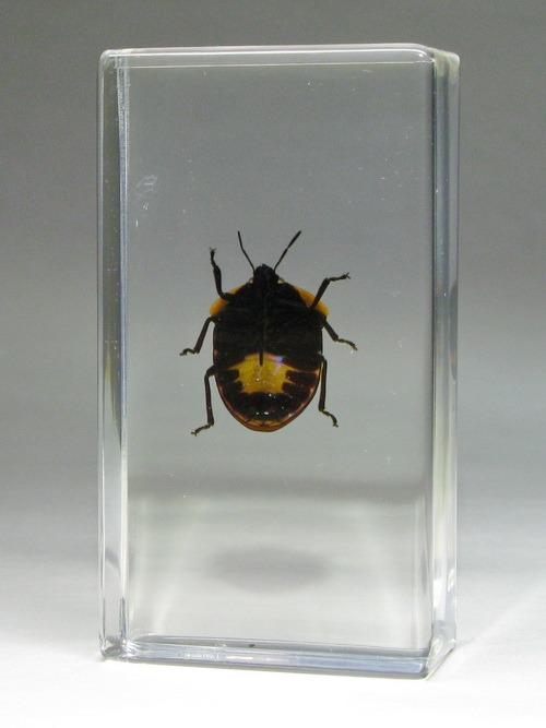 Насекомые №44 - Клоп-черепашка (Poecilocoris sp.)