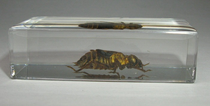 Насекомые №45 - Настоящая стрекоза (Личинка) (Libellulidae)