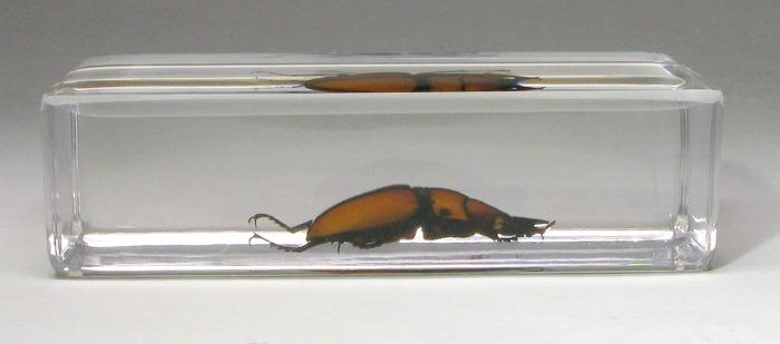 Насекомые №48 - Жук-рогач (Prosopocoilus suturalis)