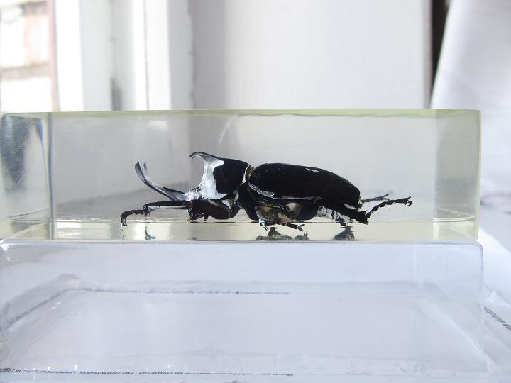 Насекомые №77 Японский жук-носорог (Allomyrina dichotoma)