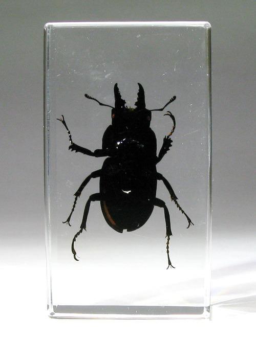 Насекомые №53 - Жук-рогач (Odontolabis siva)