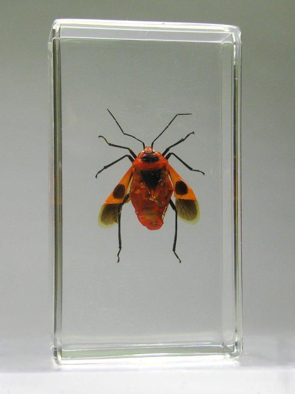 Насекомые №54 - Клоп - щитник (Parastrachia japonensis)