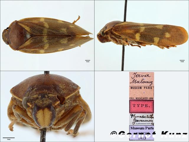 Насекомые №55 - Пенница (Cercopidae)