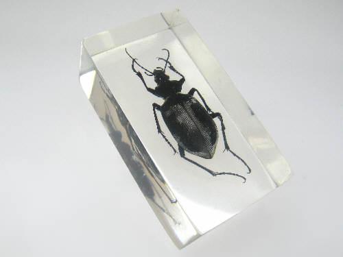 Насекомые №20 Красотел (Calosoma sp.) фото, обсуждение