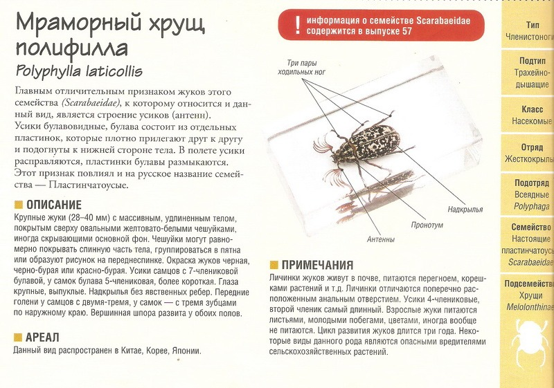 Насекомые №79 - Мраморный хрущ - Полифилла (Polyphylla laticollis)