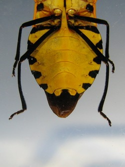 Насекомые №82 - Щитник (Catacanthus incarnatus)