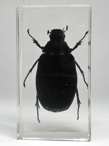Насекомые №83 - Жук-Хрущак Лепидиота (Lepidiota sp)