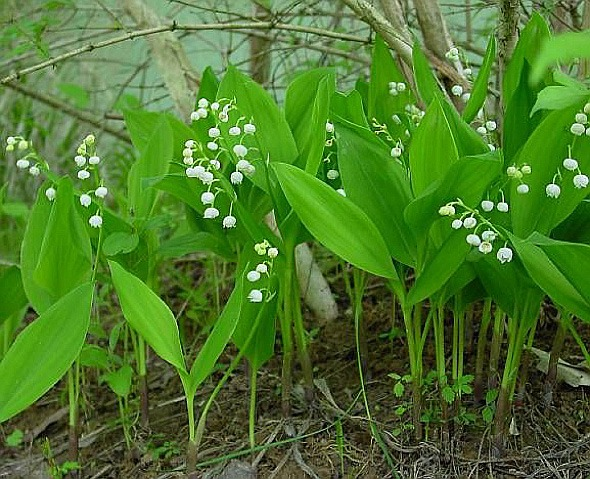 Схема посадки может быть любая, главное, чтобы растения с различными сроками...  На переднем плане высаживаем ландыш...