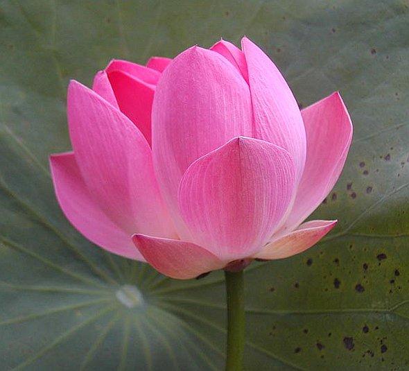 4put ru флора цветы лотос 24