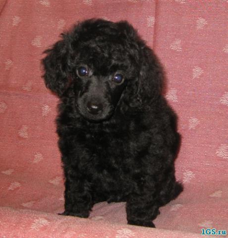 Шерсть пуделя - это главная его гордость и отличие от остальных пород собак.  Его шерсть упругая и объемная с...