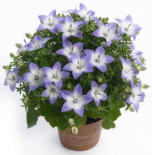 """Родина - Средиземноморье.  Имеет название: цветок  """"жених и невеста """", комнатный колокольчик, кампанула..."""