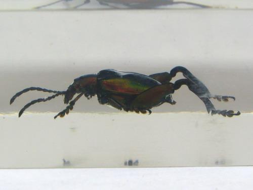 Насекомые №42 Листоед-прыгун (Sagra femorata) фото, обсуждение