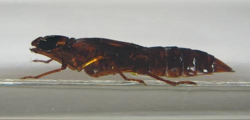 Насекомые №52 - Стрекоза-коромысло (Личинка) (Aeshnidae)