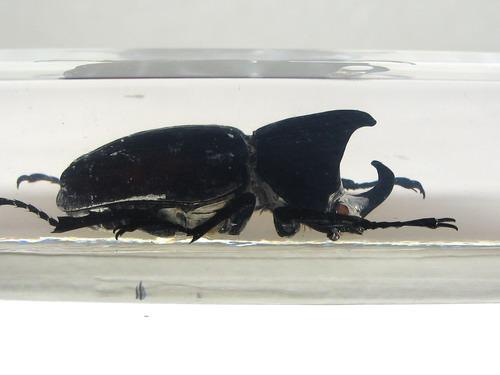Насекомые №44 Жук-носорог (Xylotrupes sp.) фото, обсуждение