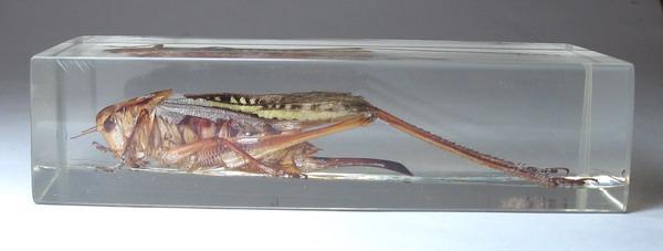 Насекомые №45 Гамсоклеис (Gampsocleis sp.) фото, обсуждение