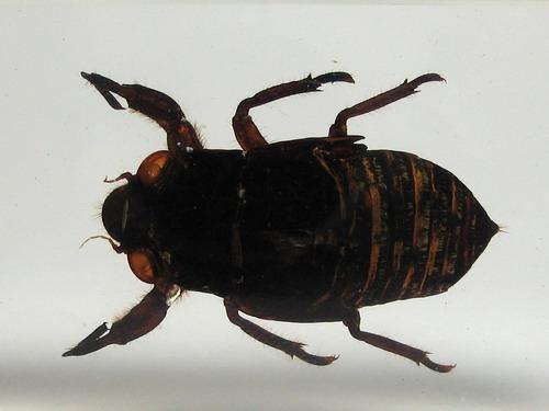 Насекомые №46 Певчая цикада (личинка) (Cicadidae) фото, обсуждение