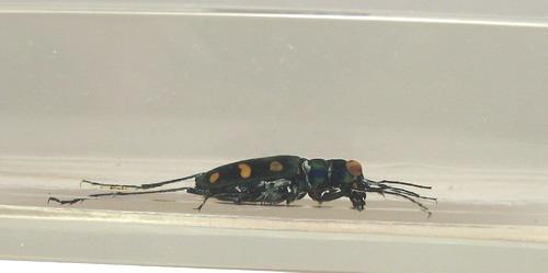 Насекомые №47 Жук-скакун (Cicindelidae) фото, обсуждение