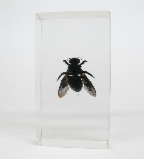 Насекомые №56 Пчела-плотник (Xylocopa)
