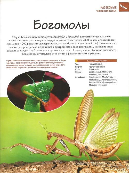 богомол насекомые и их знакомые