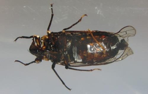 Насекомые №58 Певчая цикада Онкотимпана (Oncotympana sp.)