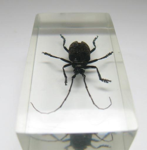 Насекомые №59 Усач (Moechotypa diphysis)