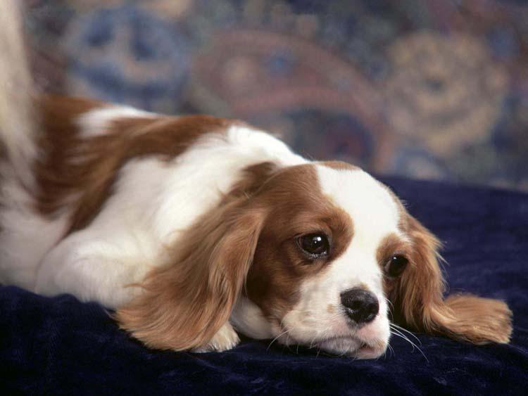 Животные Собаки Обои рабочий стол: fon1.ru/load/22-1-0-472