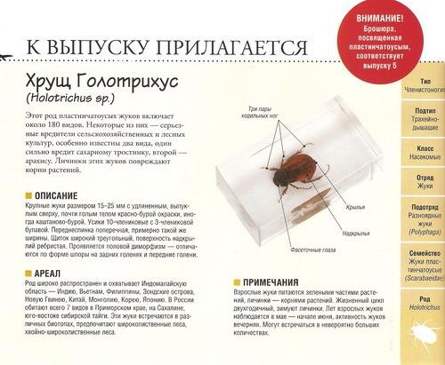 Насекомые №60 Хрущ Голотрихус (Holotrichus sp.)
