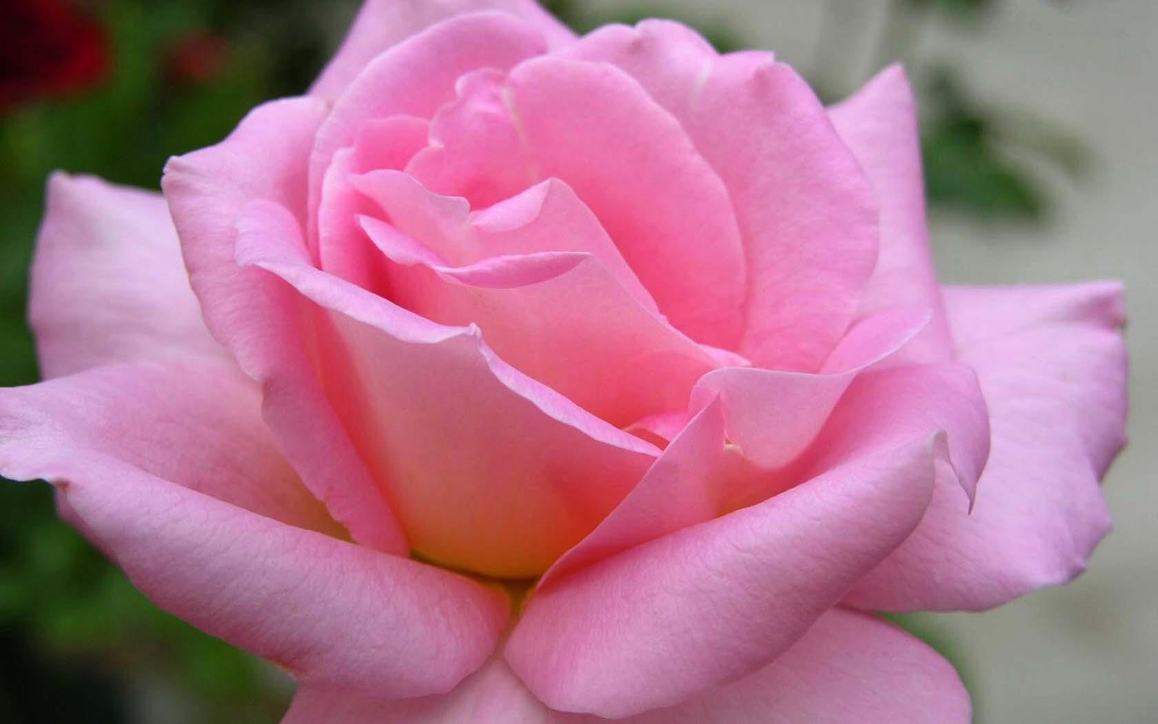 Японский язык цветов  floribundaru