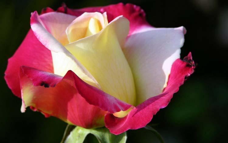 Цветы Розы Обои рабочий стол: fon1.ru/load/64-35