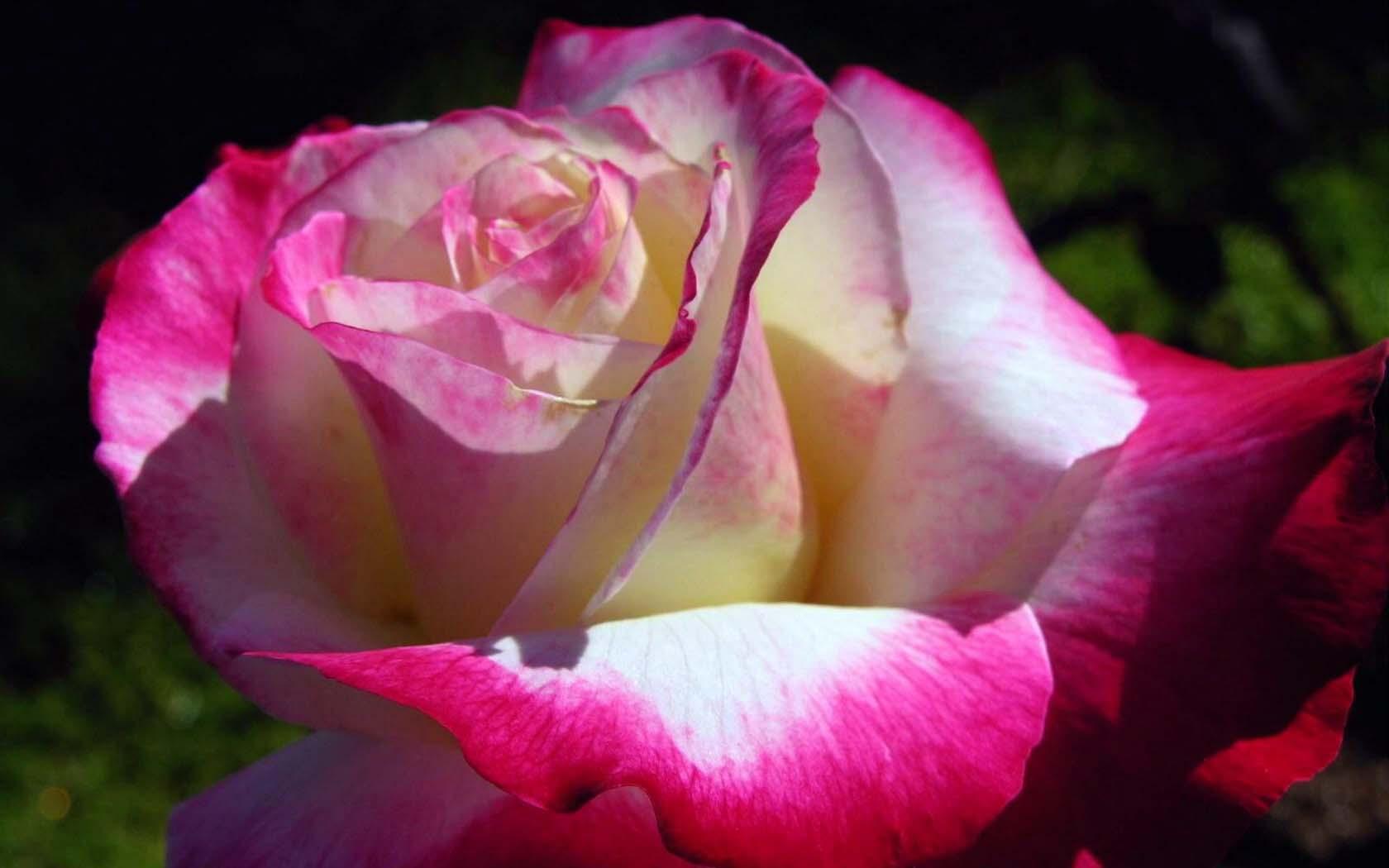 Красные розы картинки 681 фото скачать обои