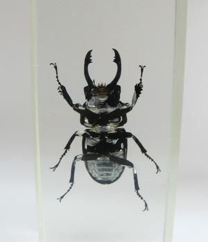Насекомые №63 Жук-рогач (Odontolabis sp.)