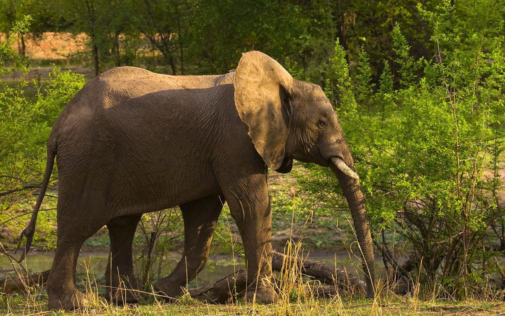 ... Слоны - ЖИВОТНЫЕ - КАРТИНКИ ФОТО: fon1.ru/load/67-1-0-4067