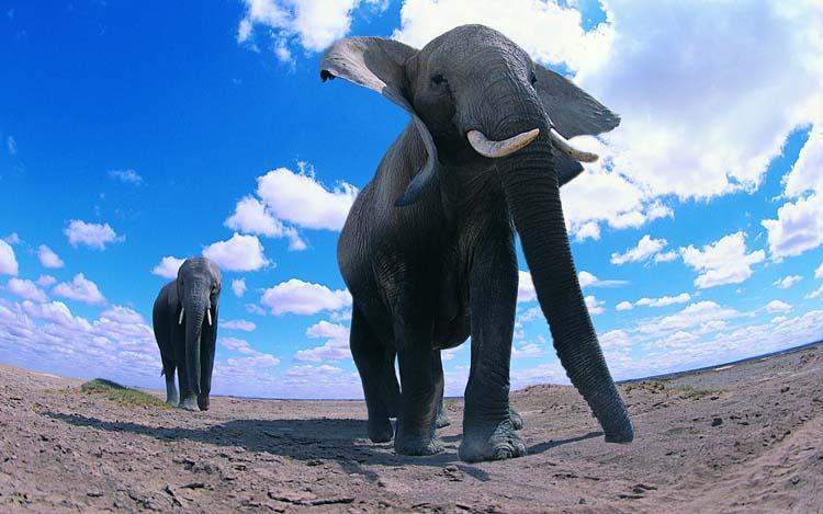 Животные Слоны Обои рабочий стол