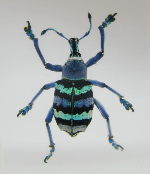 Насекомые №66 Эуфолюс великолепный (Eupholus magnificus)