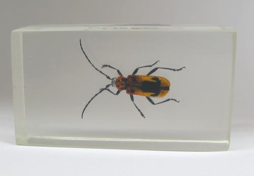 Насекомые №68 Усач-краснокрыл (Purpuricenus sp.)