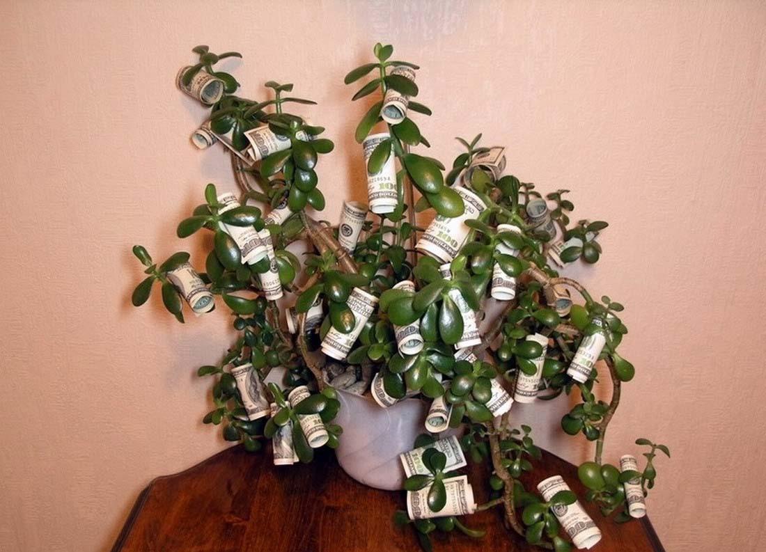 Толстянка или денежное дерево  уход в домашних условиях