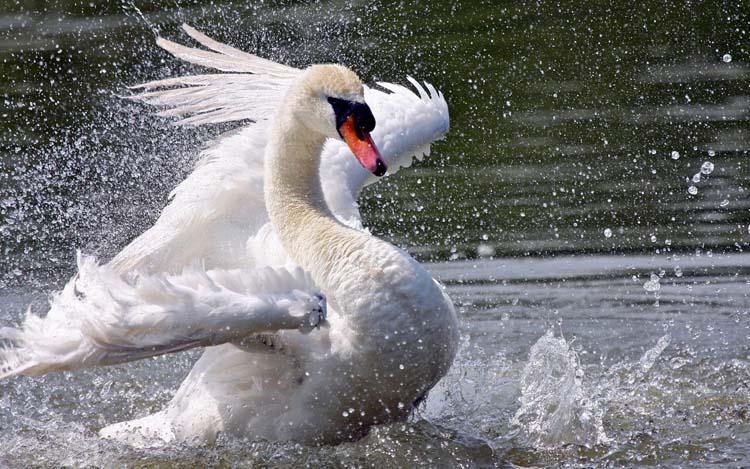 Птицы Лебеди Обои рабочий стол