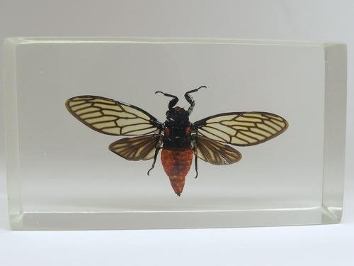 Насекомые №71 Певчая цикада Хуэхис инкорната (Huechys incarnata)