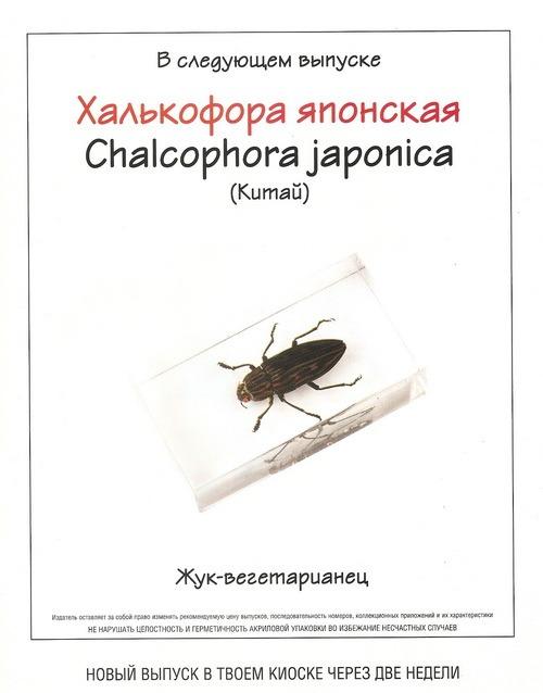 Насекомые №73 Опистоплатия восточная (Opisthoplatia orientalis)