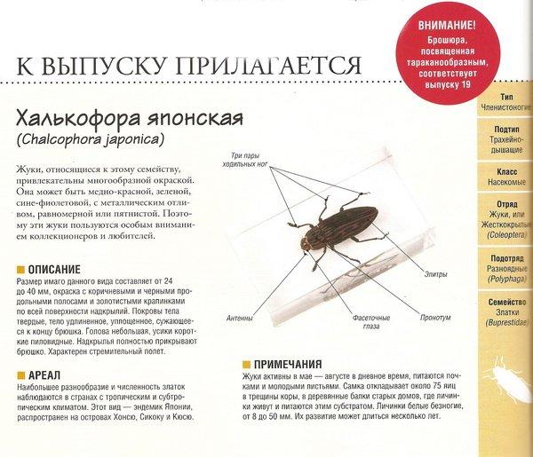 Насекомые №74 Халькофора японская (Chalcophora japonica)