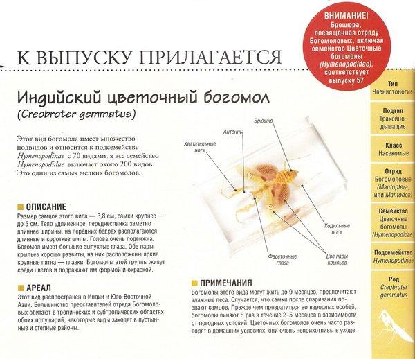 Насекомые №76 Индийский цветочный богомол (Creobroter gemmatus)