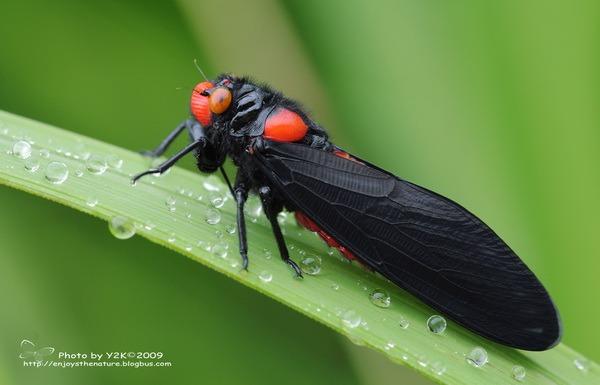 Насекомые №78 Красноносая цикада (Huechys sanguinea)