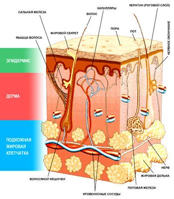 дермальный слой кожи