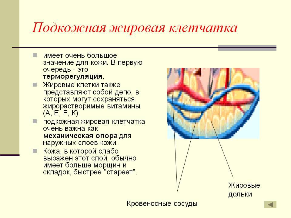 Подкожно-жировая клетчатка