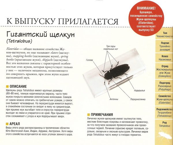 Насекомые №79 Гигантский щелкун (Tetralobus)