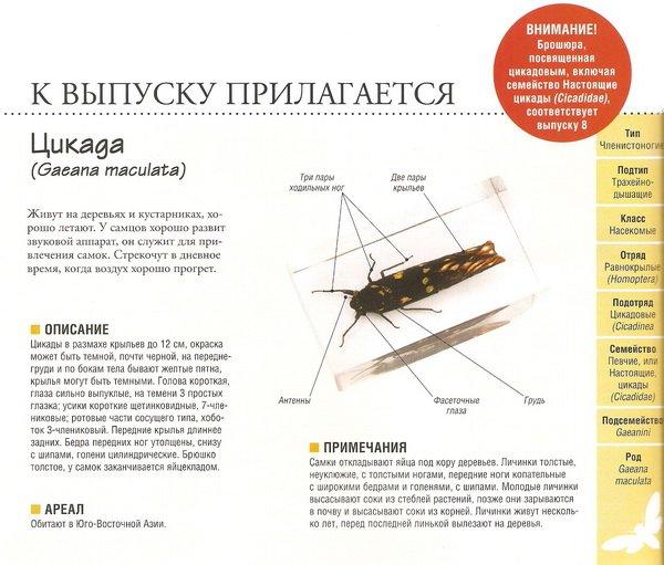 Насекомые №80 Цикада (Gaeana maculata)