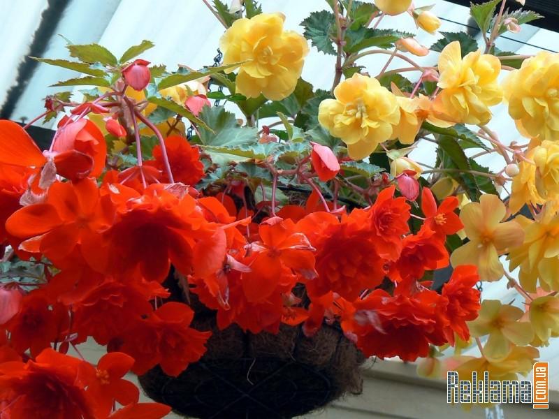 Картинки цветов бегония 3
